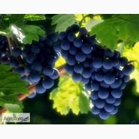 Продам виноград Зайбер, 1001