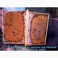 Пчеломатки бакфаст, итальянка на 2018г