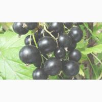 Продам ягоду чёрной смородины