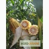 Семена кукурузы НС 300 (ФАО 330) Cербская селекция посевной материал