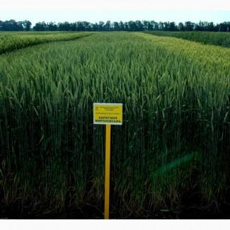 Пшеница Берегиня Мироновская- Берегиня Миронівська семена озимой пшеницы