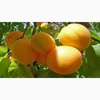 Персики и др фрукти, овощи из турции опт