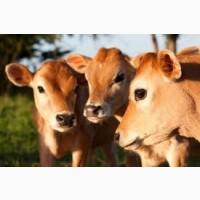Закупаем бычки породы Степная от 120 до 250 кг