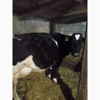 Продам корову после 4 отела