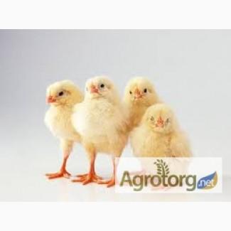 Продам суточных цыплят-бройлеров оптом и в розницу. Одесса, Николаев, Херсон