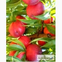 Персики саджанці