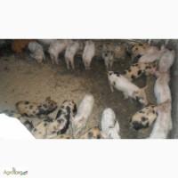 Продам поросят и свиней живым весом