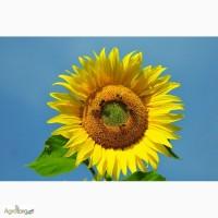Рімі (Нові Сад) - насіння соняшнику під евролайтинг