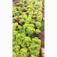 Продам зелень