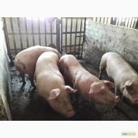 Продажа свиней мясного направления, опт 115 средний вес