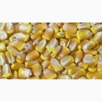 Семена кукурузы Элисон ФАО 290(Франция)