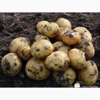 Продажа Картофеля оптом, крупный, от 1 до 15 тонн