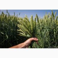 Семена пшеницы Колония (Лимагрейн)