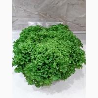 Продам салат сорту Лолло Росса