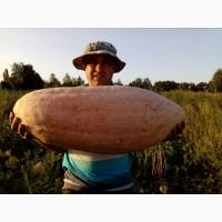 Продам насіневий матеріал - гарбуз Розовий банан
