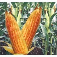 Новый гибрид кукурузы с повышеной продуктивностью ДН Велес ФАО 270, ремонтантного типа
