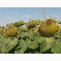 Семена подсолнечника Златсон F-1 (2018 год)