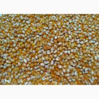 Продам кукурузу калиброванную для попкорна