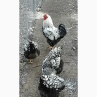 Продам інкубаційні яйця кур породи Віандот срібний