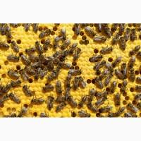 Продам 30 бджолиних сімей карпатської породи