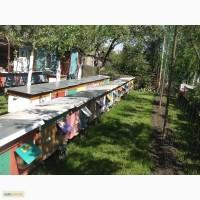 Продаю бджолопакети Карпатської породи в кількості 300 бджолопакетів