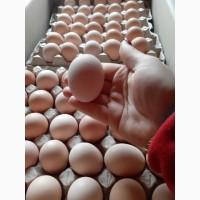 Бройлер COBB 500 с Европы яйца инкубационые
