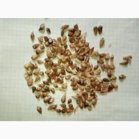 Насіння часнику а саме воздушку сорту Любаша, Дюшес, Мерефіанський білий