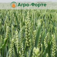 Озима Пшениця ТОБАК (Еліта)