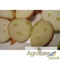Лук-севок Штутгартен от 2.5-4см на зеленое перо