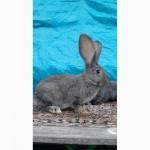 Продам кроликов (Фландр, Обер, Ризен)