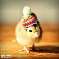 Подрощенные цыплята несушки