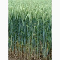 Канадская пшеница (двуручка) Oshawa, семена репродукции-элита