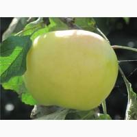 Саженцы плодовых деревьев. 100 % соответствие сорту