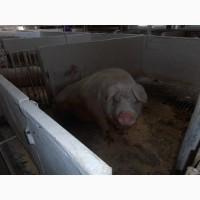 Продаємо свиней живою вагою