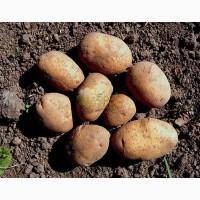 Продам Картофель, Чернигов, сорта в наличии