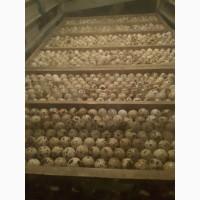 Перепелині інкубаційні яйця. Яйце харчове. Мясо перепілки
