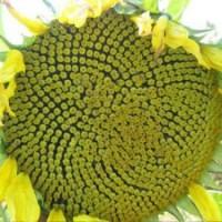 Семена подсолнечника Златибор (A-G+)