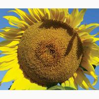 Распродажа! Купить семена гибрида подсолнечника ЛГ 5542 КЛ недорого