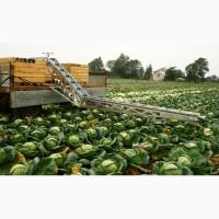 Конвейерный транспортер для капусты