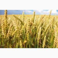 Пшениця КВС Аквілон від KWS