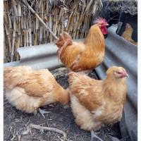 Продам інкубаційні яйця курей породи орпінгтон палевий