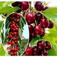 Саженцы крупноплодных сортов черешни, вишни, сливы, груши, абрикоса, яблони, смородины, малина