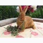 Продаю кроликов породы серебристый (полтавское, европейское серебро, БСС), бургундец