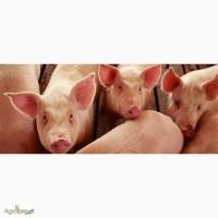 Сапокорм - сапонитовая мука. Минеральная добавка для откорма свиней