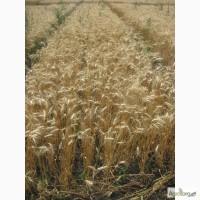 Семена пшеницы озимой - сорт Наталка. 1 репродукция