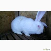 Кролики калифорнийской породы, белый паннон, белый великан
