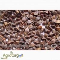 Продам насіння гречки, сорт Гранбі( Канада), Дніпропетровська обл