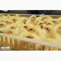 Бройлер добовий Ross 308 курчата від 1 - 10 дня