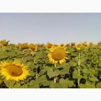 Семена пподсолнечника Лимит (под Евролайтинг )
