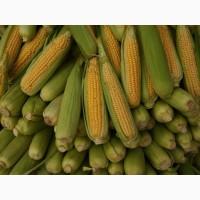 Заморожена кукурудза початки не бланшировані цукрової кукурудзи